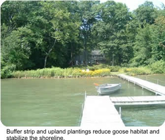 Photo Natural Shoreline buffer strip and upland plantings reduce goose habitat and stabilize the shoreline