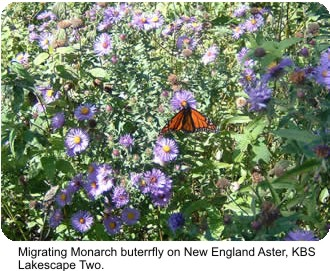 Migrating Monarch butterfly on New England Aster